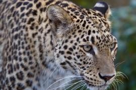 Persian Leopard, Panthera pardus saxicolor