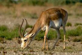 Goitered Gazelle (Gazella subgutturosa) - Credit: Hartmut Muller