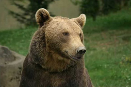 Brown bear Credit: Wikimedia Commons, Bernard Boehne
