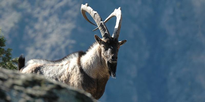 Bezoar goat © WWF Armenia/A. Malkhasyan