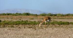 Gazelle (Gazella subgutturosa), Shirvan National Park, Azerbaijan