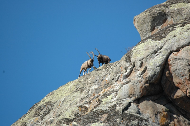 Fighting Bezoar Goats © WWF-Armenia/A.Malkhasyan