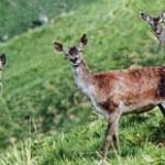 Female caspian red deer (Cervus elaphus maral), Armenia