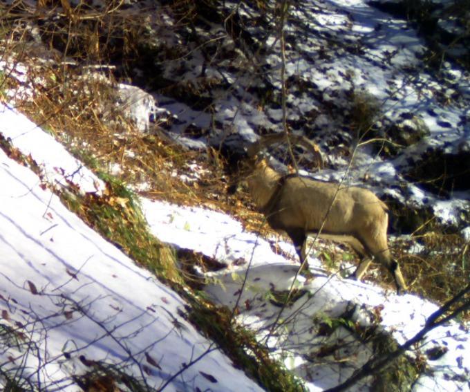 Bezoar goat (Capra aegagrus aegagrus) at Lagodekhi, Geogia