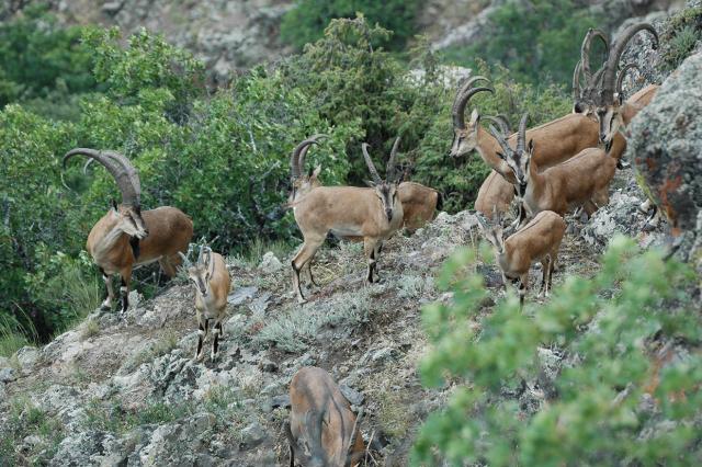 Bezoar Goats (Capra aegagrus aegagrus) in Gnishik Protected Area, Armenia; Foto by WWF Armenia