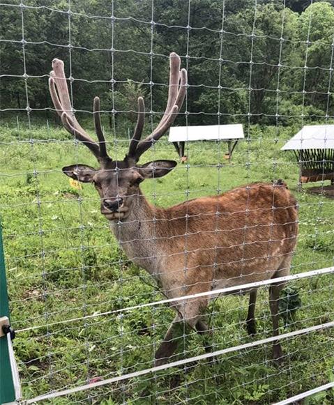 Red Deer Stag, Breeding Center, Dilijan National Park, ArmeniaRed Deer Stag, Breeding Center, Dilijan National Park, Armenia