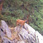 Biodiversity Monitoring – Tusheti Protected Areas Bezoar Goat