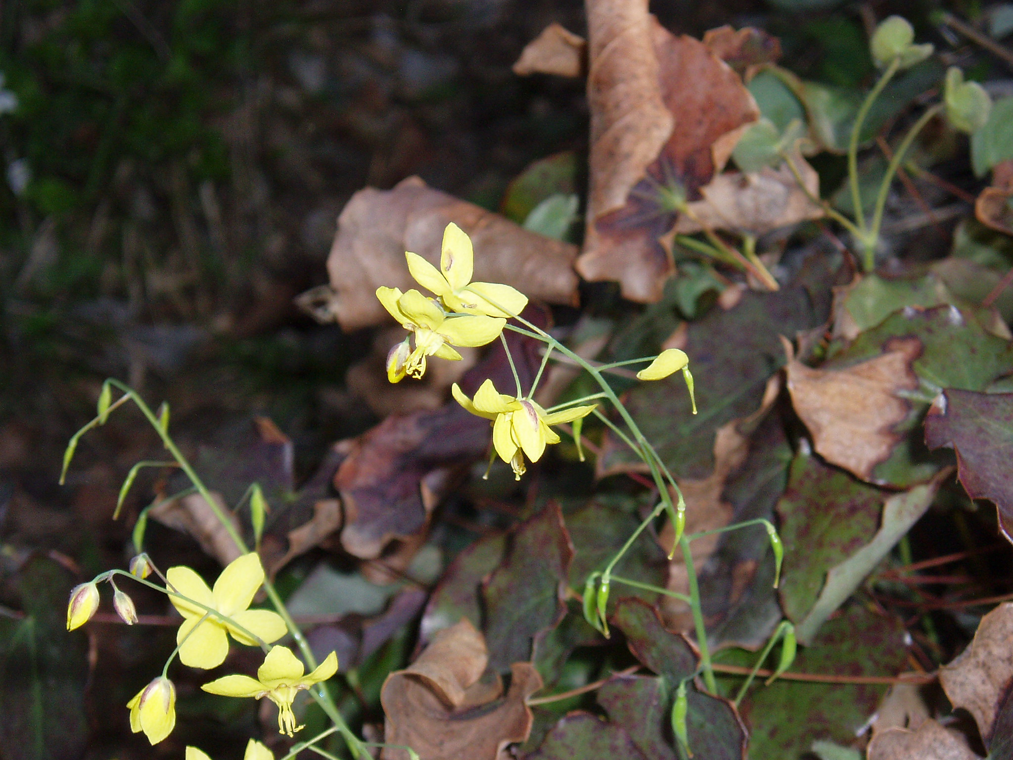 Mtirala National Park. Epimedium colchicum (Boiss.) Trautv. (Syn. Of Epimedium pinnatum subsp. colchicum (Boiss.) N. Busch) 04/2005 Photographer & Copyright: Shalva Sikharulidze